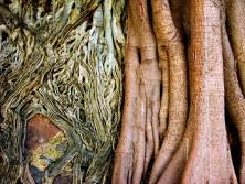 Batopillas Roots
