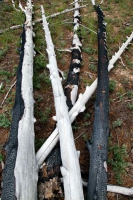 BURNED ASPEN TRUNKS