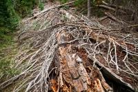 FALLEN TREE, THOMPSON CANYON