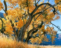 Cottonwood, Johns Canyon, San Juan River