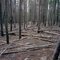 LODGEPOLE FOREST
